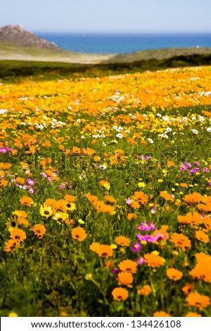 Spring wild flowers on the West Coast near Cape Town, South Africa. These wild flowers form carpets of colour every spring. - stock photo