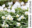 Spring wild flowers - wood anemone, windflower (Anemone nemorosa) - stock photo