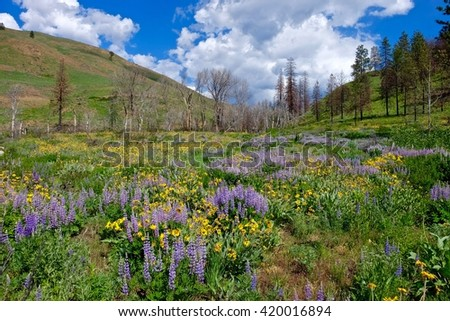 Spring Wildflowers, Meadows, Hills, Blue Sky and Clouds.  North Cascades National Park, Winthrop, WA, USA.  - stock photo