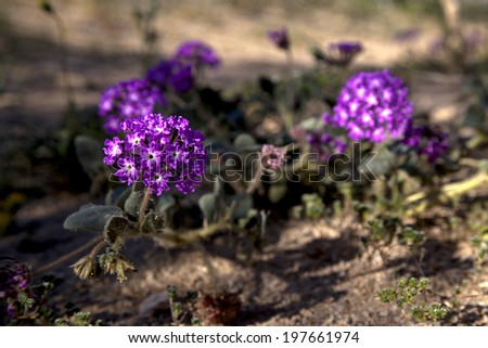 Spring wildflowers of the desert, Joshua Tree National Park - stock photo
