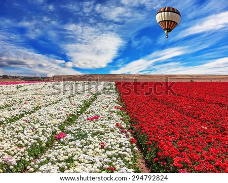 Spring windy day. Field of blooming red and white buttercups ranunculus. Huge balloon flies over a field - stock photo