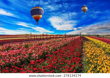 Spring windy day. Two balloons fly over the field.  Field of blooming red, yellow and pink  buttercups - ranunculus - stock photo