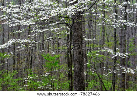 Spring woodland, Dogwood in bloom, Webster County, West Virginia, USA
