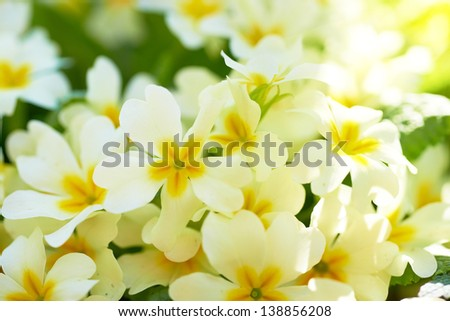 Spring yellow flowers (Primula vulgaris) in the forest - stock photo