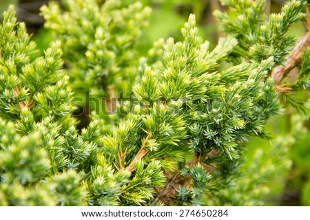 Spring, young pine branches arborvitae, conic, boxwood