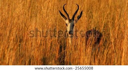 Springbok - stock photo