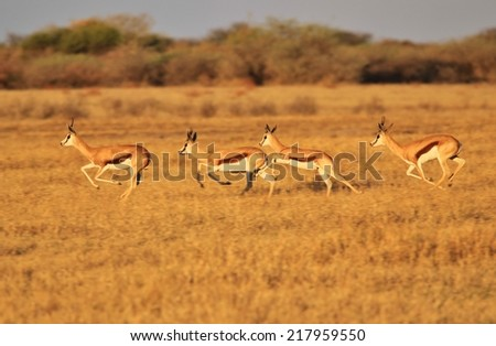 Springbok - African Wildlife Background - Blur of Run and Speed - stock photo