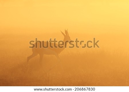 Springbok - African Wildlife Background - Sunset Glow of Gold and Walk of Life