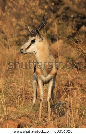 Springbok alert to the presence of a predator in South African National Park