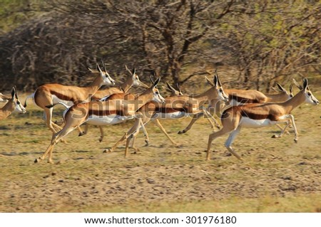 Springbok Antelope - African Wildlife Background - Blur of Speed and Motion