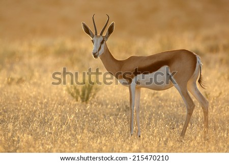 Springbok antelope (Antidorcas marsupialis) at sunrise, Kalahari desert, South Africa - stock photo