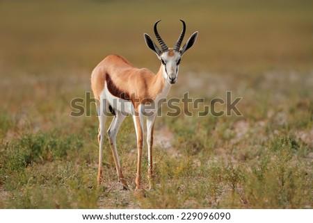 Springbok antelope (Antidorcas marsupialis) in natural habitat, South Africa - stock photo