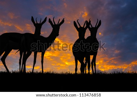 Springbok antelope (Antidorcas marsupialis) silhouetted against a sunset.