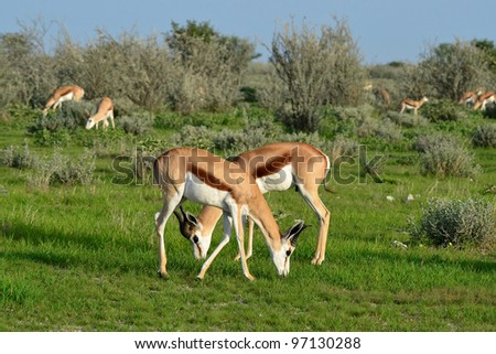 springbok antelope,Namibia, - stock photo