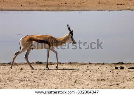 Springbok, Antidorcas marsupialis,  in the Namibian bush