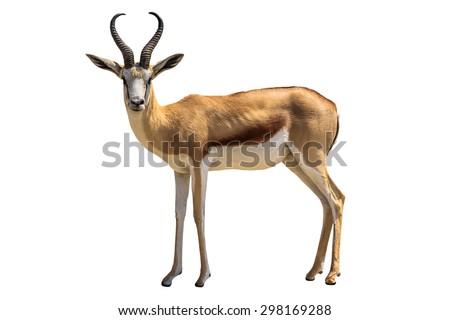 Springbok, Antidorcas marsupialis, isolated on white background. - stock photo
