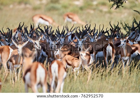 Springbok, Antidorcas marsupialis, medium antelope of dry areas of south and southwestern Africa. Large herd hiding in the shadow during noon. Jumping antelope of Kalahari desert, Botswana.