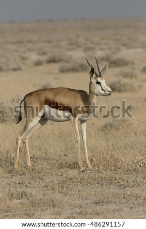 Springbok, Antidorcas marsupialis, single mammal, Namibia, August 2016