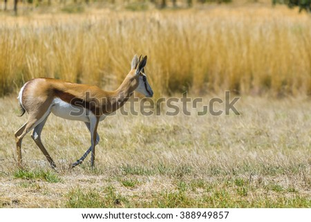 Springbok buck in safari field grass