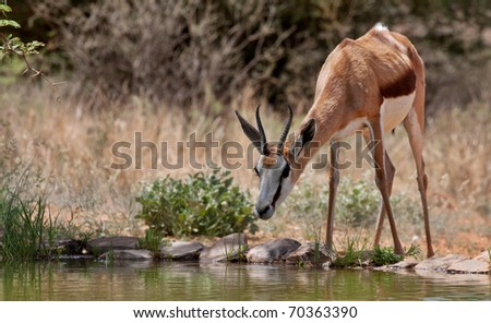 springbok gazelle, endemic to South Africa, and this country's national antelope