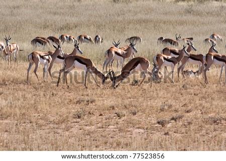springbok gazelle fighting in the kalahari desert in the Kgalagadi Transfrontier Park in South Africa - stock photo