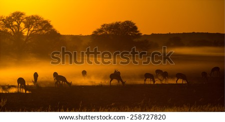 Springbok in riverbed at sunrise