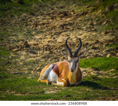 Springbok resting - stock photo