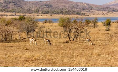 Springbok roaming freely in the dry savannah lands of Pilanesberg National Park, South Africa - stock photo