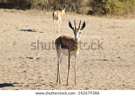 Springbok Wildlife Africa Portrait Symbolic Species Stock Photo