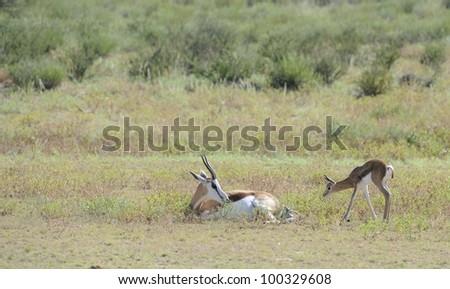 springbuck ((Antidorcas marsupialis) giving birth. an inquisitive  newborn lamb investigates. Kalahari,south africa - stock photo