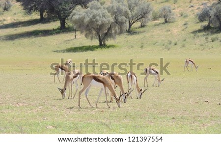 Springbuck (Antidorcus marsupialis) graze on new grasses in the Nossob riverbed. The nossob is a fossil river in the kalahari desert that flows about once every 100 years - stock photo