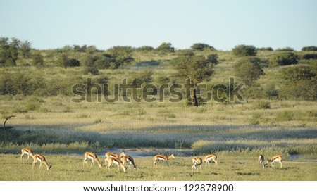 Springbuck (Antidorcus marsupialis) lit by setting sun the Auoob riverbed, Kgalagadi transfrontier park,northern cape,south africa. The Auoob is a fossil river that flows about once per 100 years - stock photo