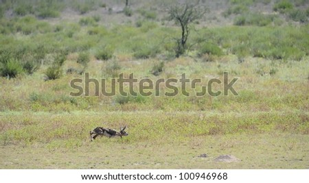 Springbuck birth sequence in the kalahari, Urikaruus,Kgalagadi transfrontier park, South Africa. very small and all alone in a big and dangerous world - stock photo