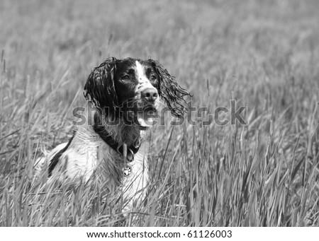 Springer Spaniel at Work - stock photo