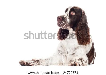 springer spaniel dog lying down - stock photo