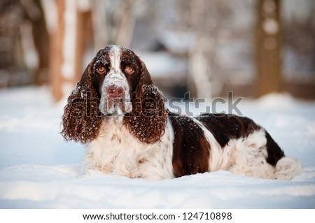 springer spaniel dog lying in the snow - stock photo