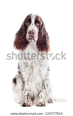 springer spaniel dog portrait - stock photo