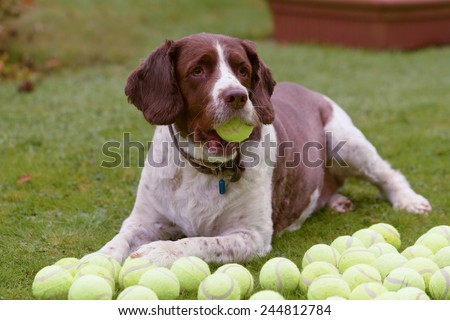 Springer Spaniel dog with lots of tennis balls - stock photo
