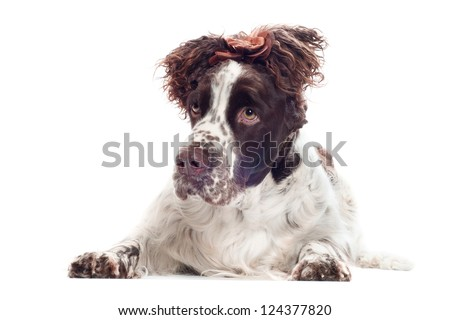 springer spaniel dog with tied ears - stock photo