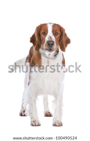 Springer Spaniel in front of a white background