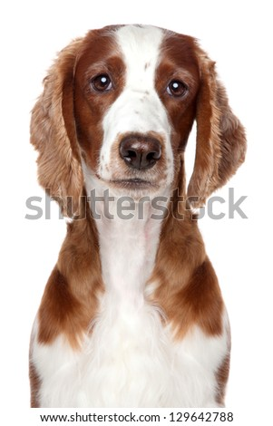Springer spaniel puppy. Close-up portrait on a white background - stock photo