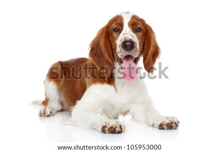 Springer Spaniel puppy lying. Portrait on a white background - stock photo