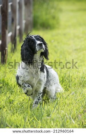 Springer Spaniel ready to go - stock photo