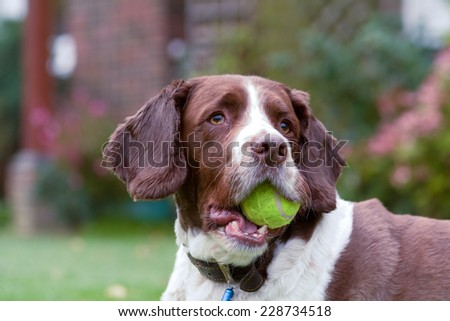 Springer Spaniel with tennis ball in mouth - stock photo