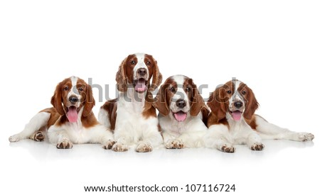 Springer Spaniels dogs posing on a white background - stock photo