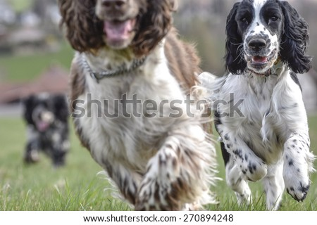 Springer spaniels on grass - stock photo