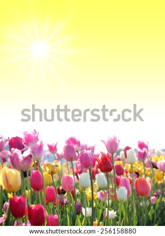 springlike sunny background with tulip blossoms and copy space - stock photo