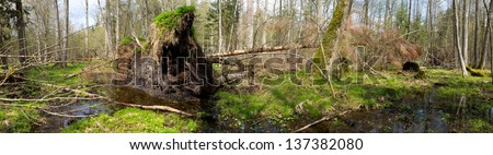 Springtime alder bog forest with standing water and storm broken spruce tree - stock photo