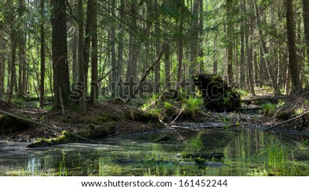 Springtime alder bog stand with standing water - stock photo