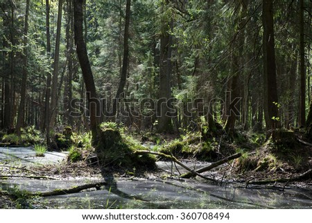 Springtime alder bog stand with standing water,Bialowieza Forest,Poland,Europe - stock photo